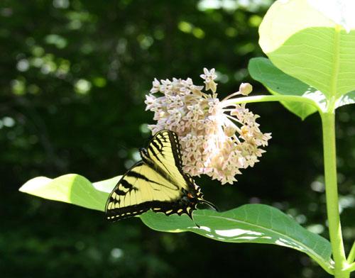 eastern-tiger-swallowtail.jpg