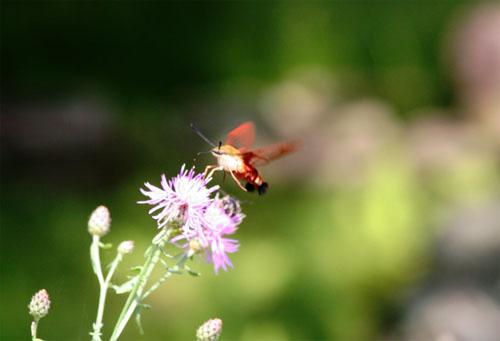 hummingbird-moth-2.jpg
