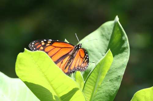 monarch-butterfly.jpg