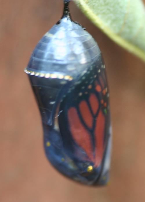 chrysalis-aug-4.jpg