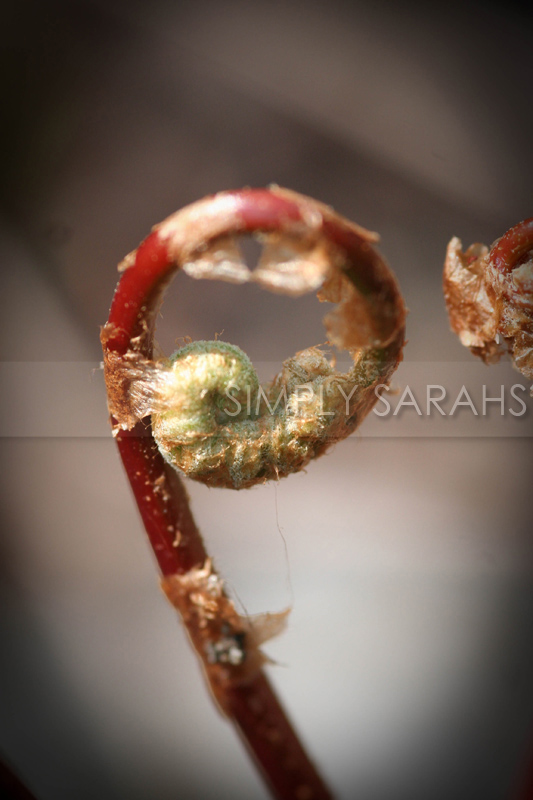 red-fiddlehead-2