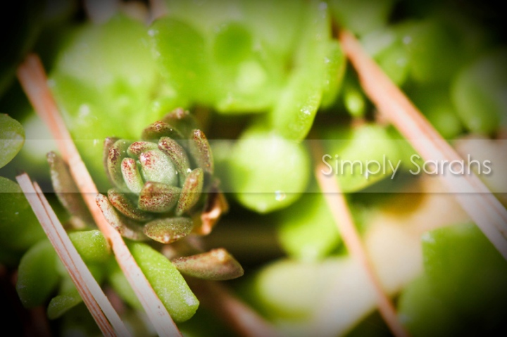 succulent-watermarked