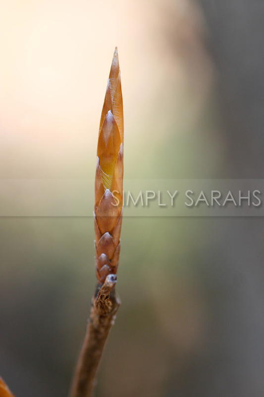 tree-bud-watermarked