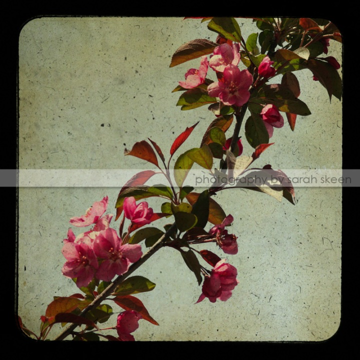 blossoms watermarked
