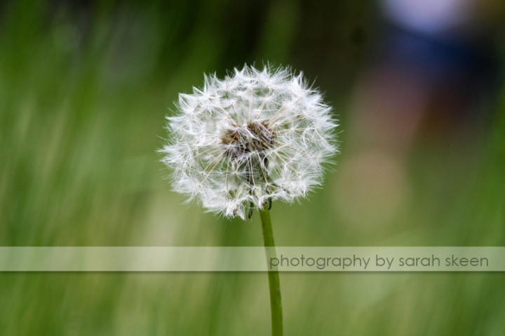 lonely dandelion watermarked